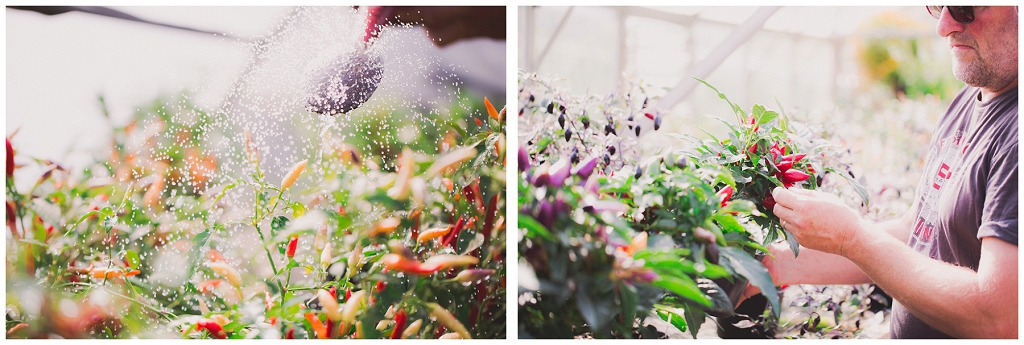 nurturing chilli plants, watering plants, commercial photography