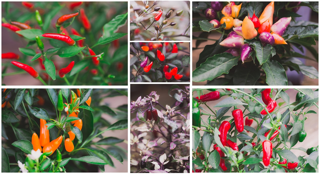 Commercial shoot, Culmstock Chilli Co, Perspectives Photography